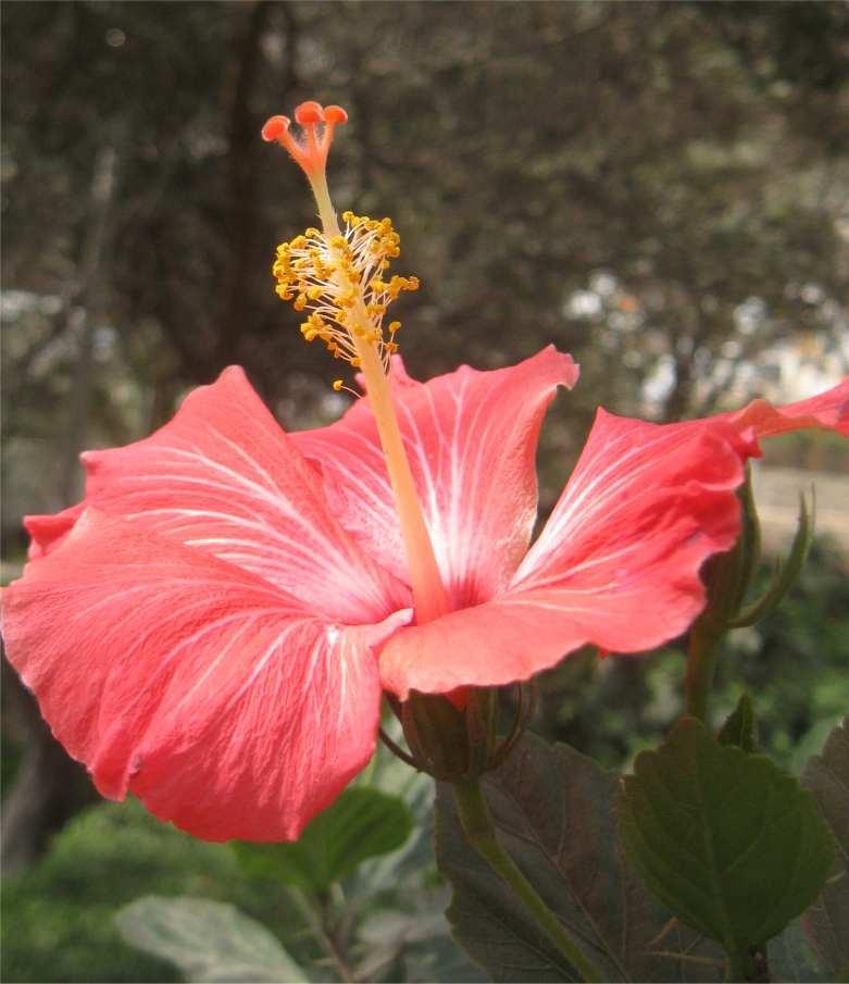 Foto einer Hibiskus Blüte in Lima - Peru