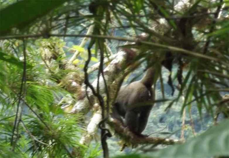 Bild grauer Wollaffe im Urwald Perus (Manu Park)