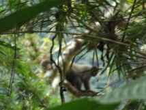 Grauer Wollaffe im Regenwald
