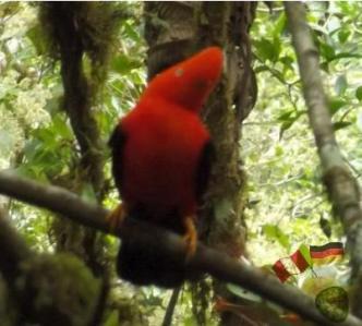 Roter Felsenhahn - Manu Regenwald Peru.