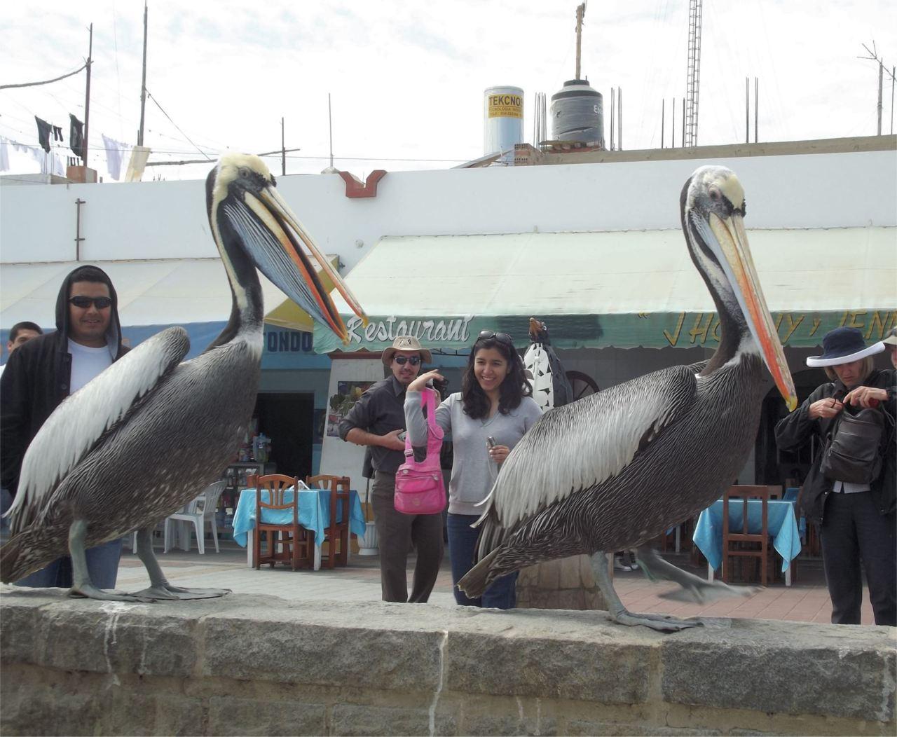 Pelikanshow für Touristen Peru Ballestas