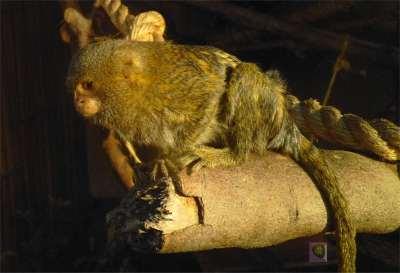 Zwergseidenäffchen im Zoo in LIma