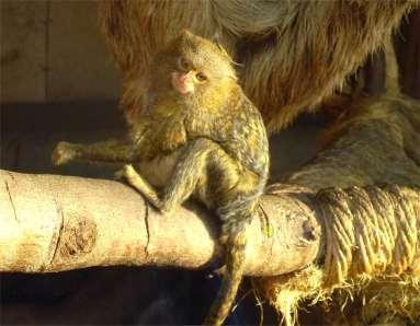Zwergseidenäffchen, Foto von kleinem Affen.