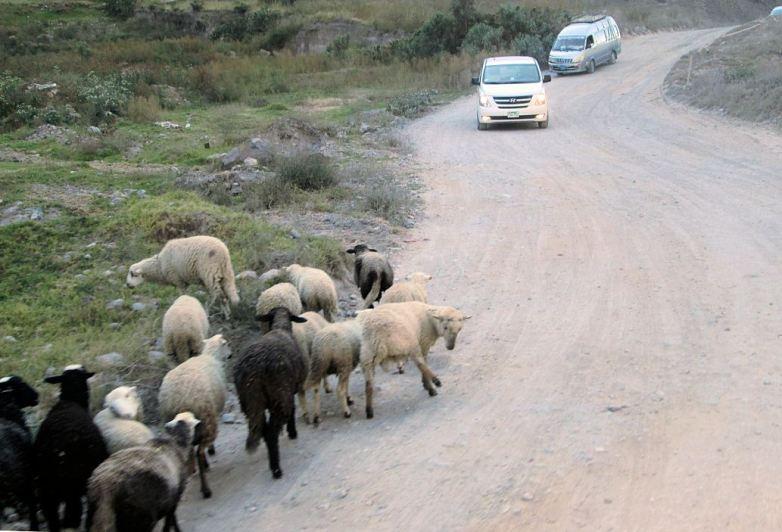 Schafe-an-Strasse
