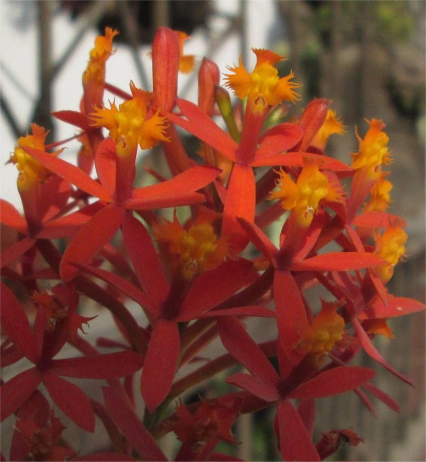 Eine Orchidee  rot-orange blühend in Lima in einer Lage mit etwas mehr Sonne und weniger Luftfeuchtigkeit tagsüber.
