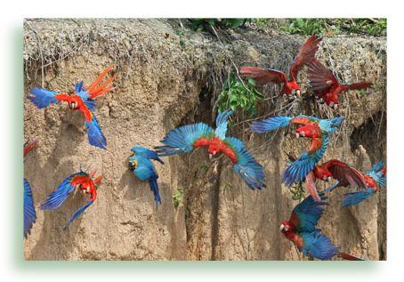 Ara Macaw Lehmlecke