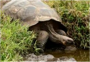 Schildkröte Baltra Galapagos