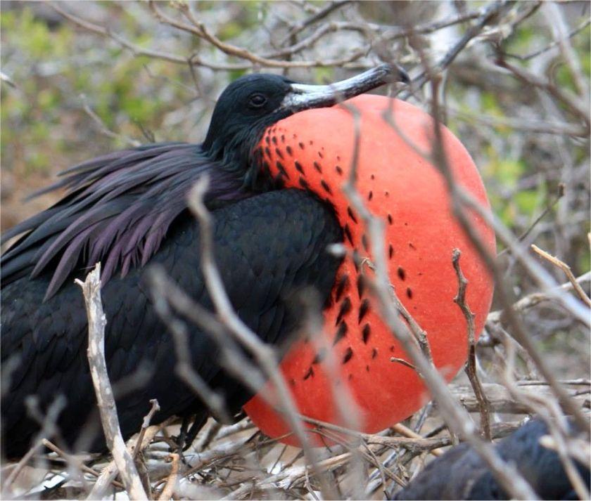 Fregattvogel