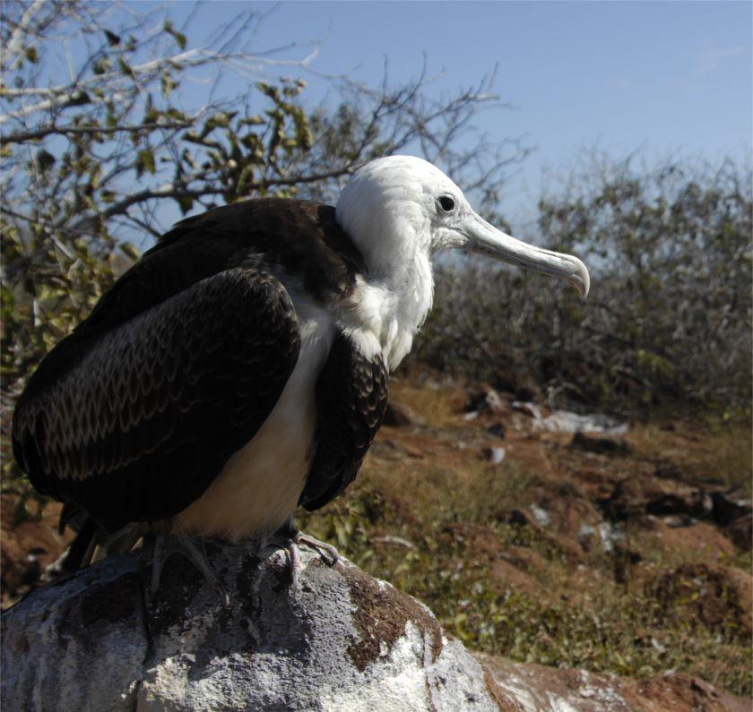 Albatros Galapagos