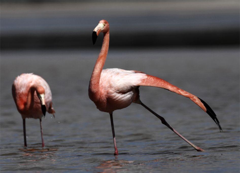 Islas-Galapagos-Flamingo