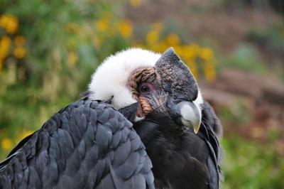Kondor in Peru