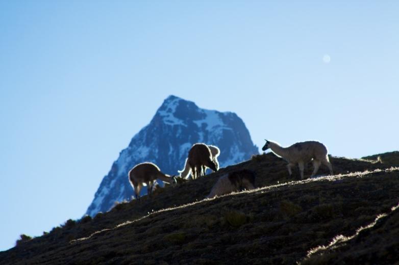 Lares Trail Lamas