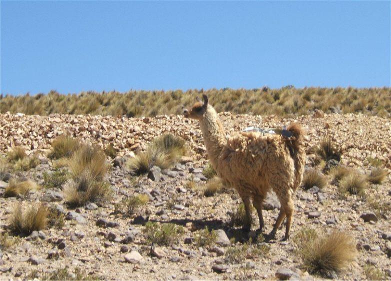 Lama, Alpaca, Anden.