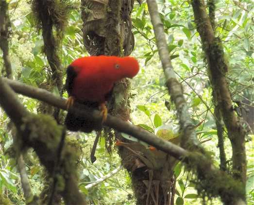 Roter Felsenhahn - im Manu Regenwald.