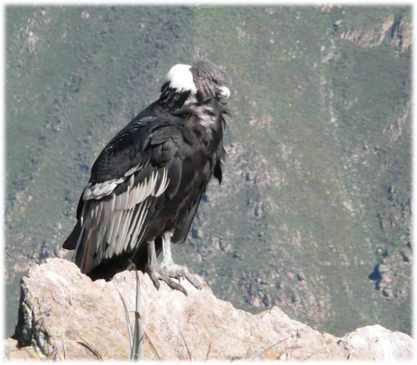 Kondor-im-Colca-Canyon_med