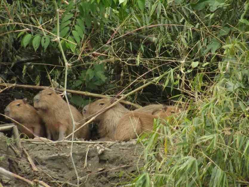 Die größten Nagetiere der Welt, die sogenannten Wasserschweine leben im Anazonastiefland und am Rande des Bergregenwaldes.