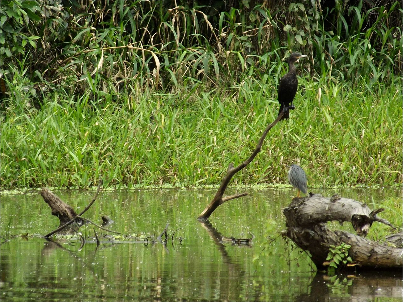 Kormoran Peru Manupark