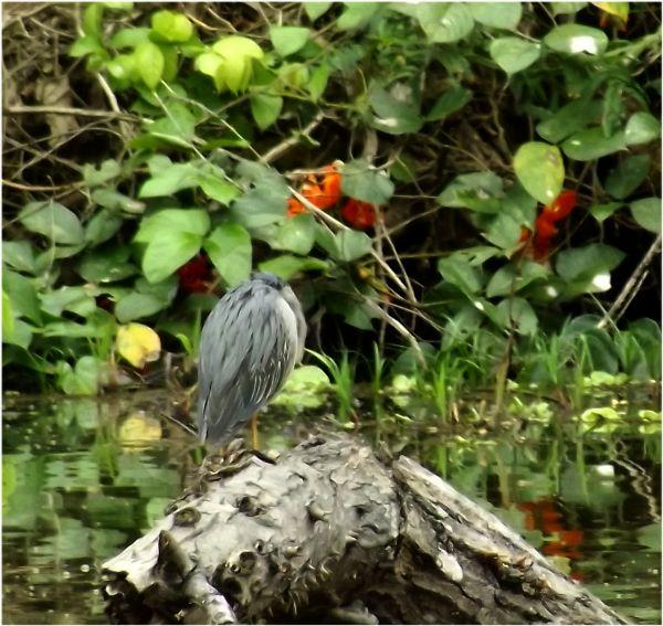 Peru_Regenwald Vogel (11)