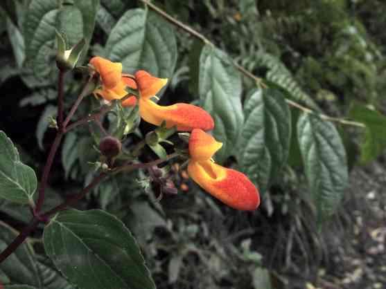 """Früher """"einige Pflanzen und Blumen beim Machu Picchu""""    > Nun stattdessen vergleichbar aus den Bergnebelwald des Manu Regenwaldes undInkatrails."""