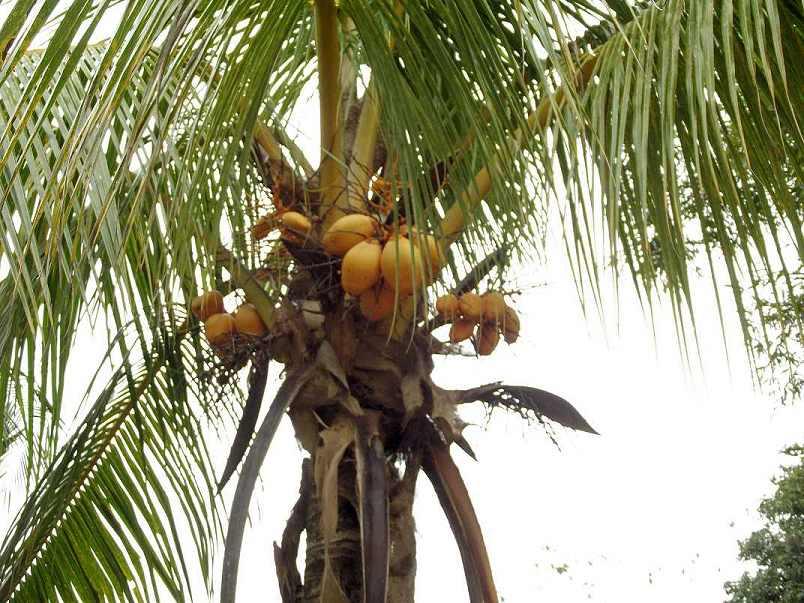kokos_palme_