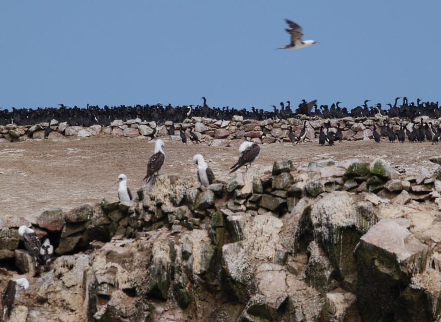 Guanovögel Ballestas Inseln.