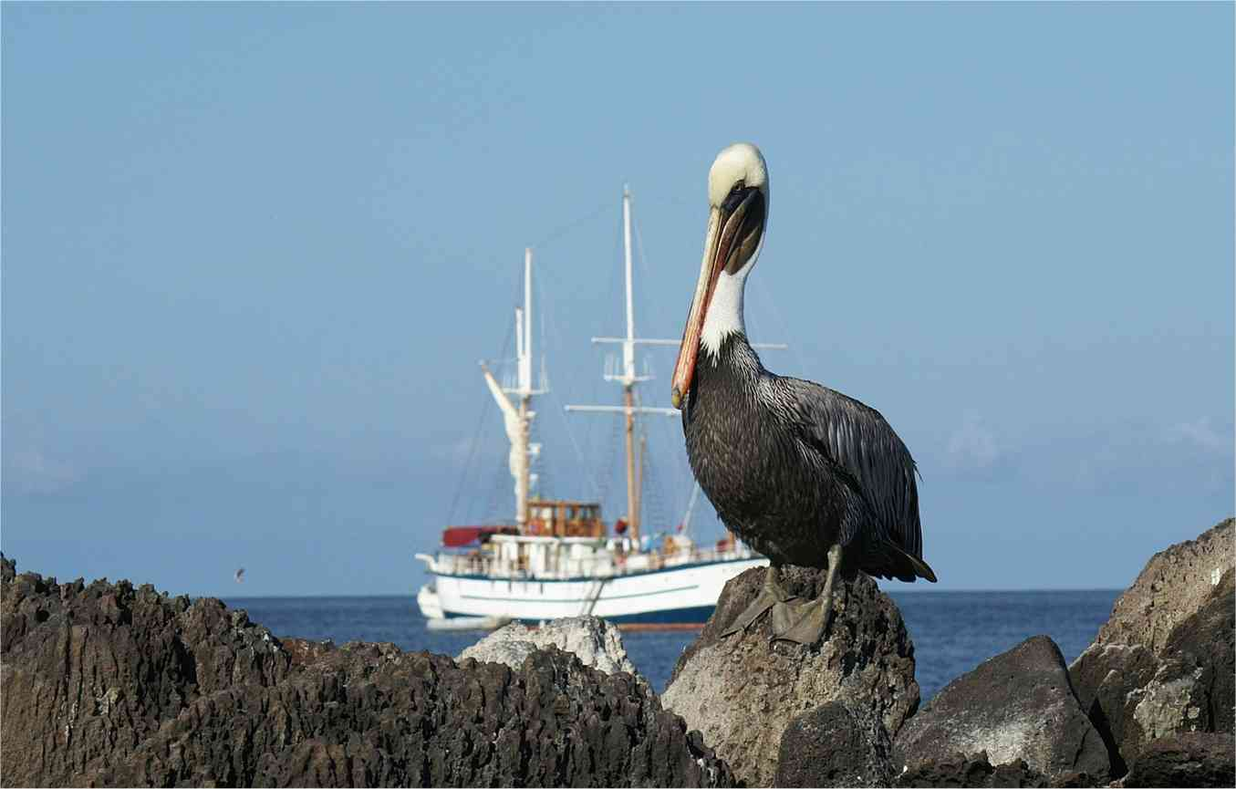 Galapagos Insel - Pelikan - Kreuzfahrtschiff