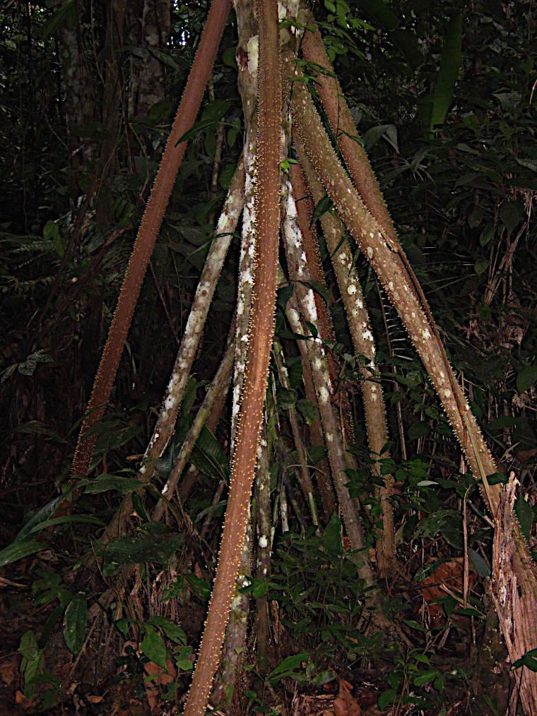 Peru-Regenwald-Baum-Stelzen